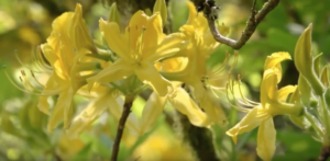 Video production South West Springtime. Bight, yellow and vivid flowers in Trebah Gardens, Cornwall.